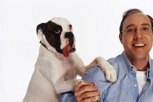 Cómo entrenar a tu perro del boxeador Sin Knock You Down o abordar usted en su propia casa