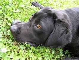 Los signos de anquilostoma del perro Común