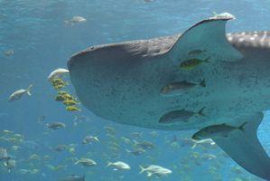 Los ataques de tiburones en las islas de Hawai