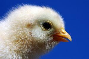 Cómo cuidar y alimentar los polluelos del bebé