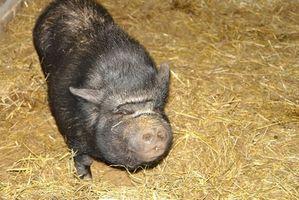 Cómo ajustar un Pies de cerdo barrigón