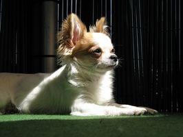 El cuidado de un niño de seis semanas de edad Chihuahua