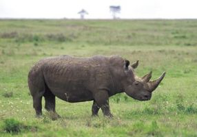 Comportamiento negro Rhino