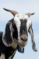 Los signos de la última etapa del embarazo en las cabras de Nubian