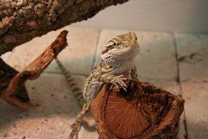 Cómo hacer un terrario para un dragón barbudo
