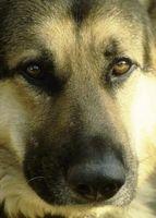 Tipos de perros utilizados en la Policía