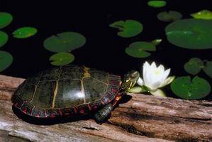 Cómo ayudar a una tortuga con una concha de sangría