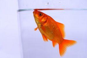 Enfermedades de peces de colores y Curas