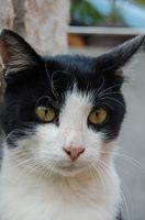 Los efectos secundarios de la Clavamox para gatos