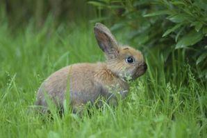 Remedios caseros para la tenias en Conejos