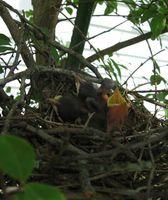 Lo que hay que alimentar a las aves bebé abandonado