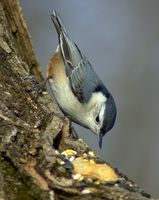 Cómo hacer una prueba de ardillas alimentador del pájaro sebo