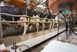 Cómo construir una estación de ordeño de una vaca