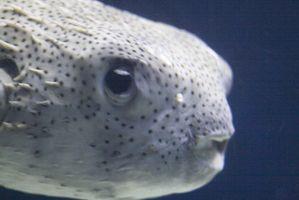 Cómo criar caracoles de pescado para consumo