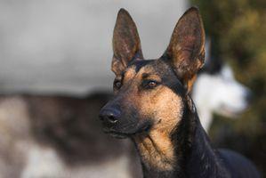 Los alimentos para perros para Shephards alemanes