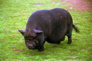 Cómo criar un cerdo barriga