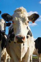 Ideas de la carne de vaca póster 4-H