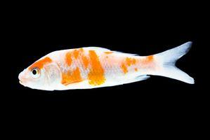 ¿Qué significa cuando un pez de colores de la aleta superior se acuesta?