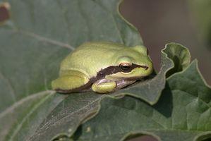 ¿Qué tipo de plantas son las mejores para una rana de árbol Hábitat?