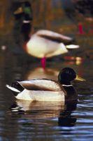¿Cuánto tiempo se necesita para que los patos silvestres para madurar?