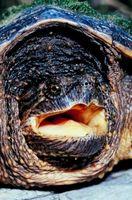 Comunes tortugas romperse como mascotas
