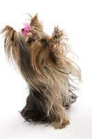 Se usa para tratar lo que son buenos para un perrito de Yorkie?
