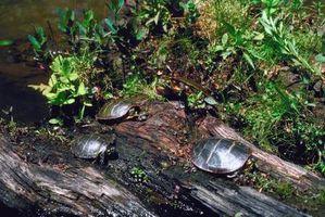 Tortugas nativas a Maryland