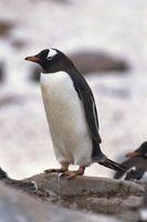 Cómo decorar un pastel para que parezca un pingüino