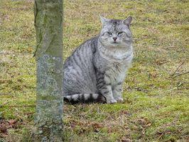 Los signos de tenias en gatos