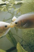 Besar Gourami Fish Compatibilidad