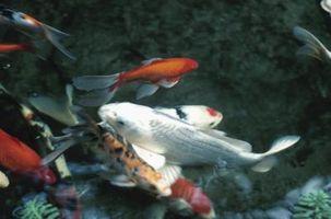 La tasa de supervivencia de los pescados de Koi tramado