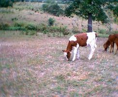 ¿Cuánto Sustituto de leche para alimentar a un ternero