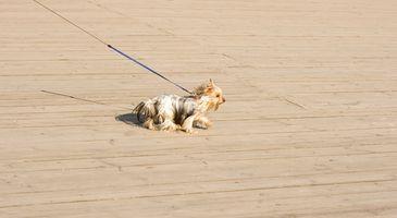 Cómo hacer que un perro correr para un perro pequeño