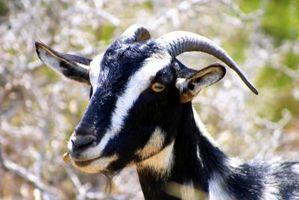 Las variedades de carne de cabra