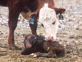 Etapas del embarazo de la vaca