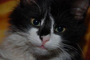 Los síntomas de la diarrea en un gato con antibióticos