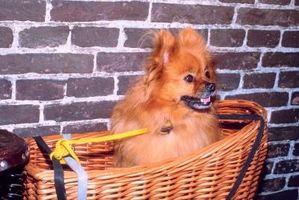 Corte de pelo en un Pomeranian miniatura