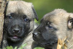 Las convulsiones asociadas a la vacuna en los cachorros
