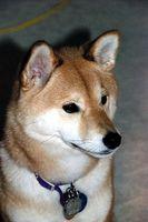 La sobredosis de fenobarbital en perros