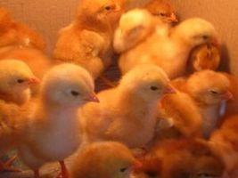 Cómo bañar bebés pavos y pollos