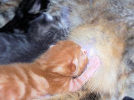 ¿Cómo puedo saber si un gato perdido Aún Es un gatito?