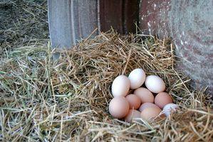 ¿Por qué las gallinas Quit que pone los huevos?