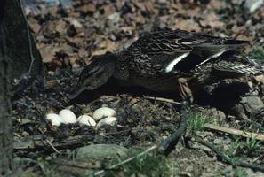 Cómo cuidar los huevos de pato abandonados