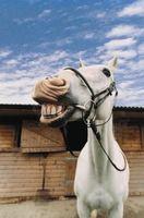 Cómo longevidad de los caballos por Groove de Galvayne
