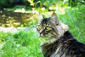 La enfermedad pulmonar en los gatos