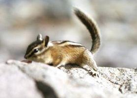 Lo que los roedores tienen rayas?
