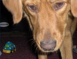 Estreñimiento de socorro para un cachorro