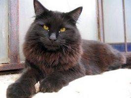 Dieta para gatos que sufren de insuficiencia renal