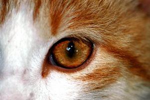 Enfermedades y las infecciones de ojo de gato