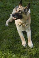 ¿Cuáles son los perros utilizados para Además de servicio de empleo?